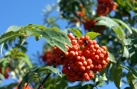 Photo for ashberry at dry sunny day - Royalty Free Image
