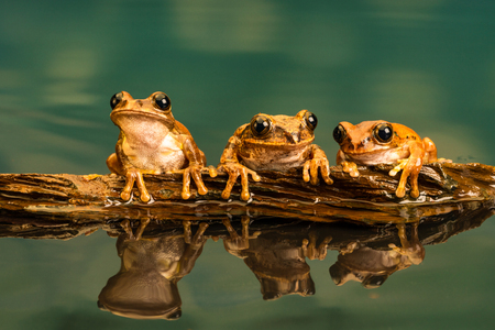 Photo pour Three Peacock tree frogs (Leptopelis vermiculatus) also known as Amani forest treefrog, or vermiculated tree trog, are species of frog found in forest areas in Tanzania. - image libre de droit