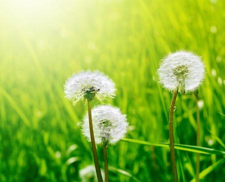 Foto de dandelion in green grass - Imagen libre de derechos