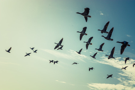 Foto de Large group of flying geese - Imagen libre de derechos
