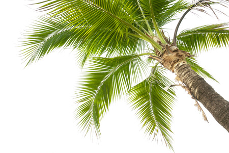 Photo for Under coconut tree on the white background. - Royalty Free Image