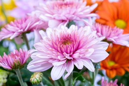 Foto de beauty color chrysanthemum flowers close up - Imagen libre de derechos