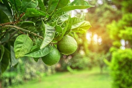 Foto de Lime tree with fruits closeup - Imagen libre de derechos