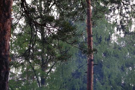 Forest after a rain, lake Yastrebinoye,  Priozersky district, Leningrad region, Russia