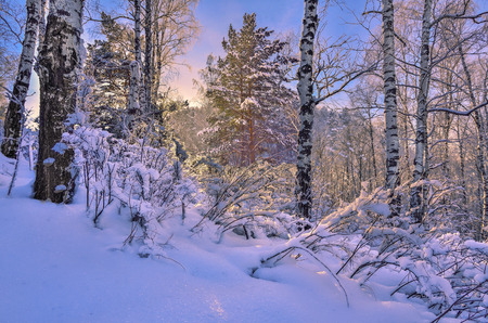 Photo for Sunrise in the winter wood. Gentle morning sunlight among white trunks of birch trees, snowy pines and bushes - fairy tale of winter forest - Royalty Free Image