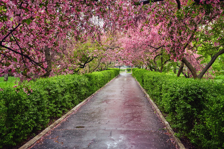 Photo pour Park with alley of blossoming red apple trees. Spring landscape - image libre de droit