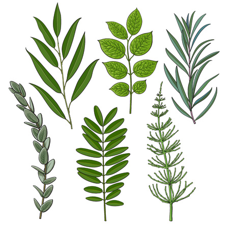 Illustration for Set of tree twigs, branches with fresh green leaves, summer season decoration elements, sketch vector illustration isolated on white background. Hand drawn green foliage, twigs, branches with leaves - Royalty Free Image