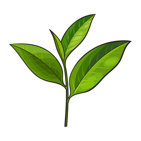 Ilustración de Hand drawn fresh green tea leaf, bud, twig, sketch style vector illustration isolated on white background. Realistic hand drawing of fresh young green tea leaf - Imagen libre de derechos