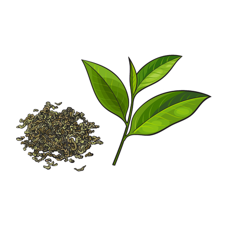 Ilustración de Hand drawn pile, heap, handful of dry green tea and fresh young leaf, sketch vector illustration isolated on white background. Realistic hand drawing of dry green tea and fresh leaf - Imagen libre de derechos