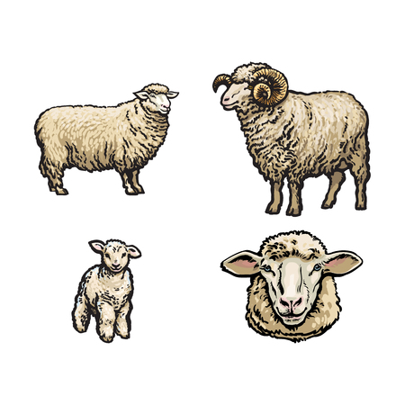 Illustration for vector sketch cartoon style sheep, horned ram lamb and sheep head set. Isolated illustration on a white background. Hand drawn animal without horns. Cattle, farm cloven-hoofed livestock animal - Royalty Free Image