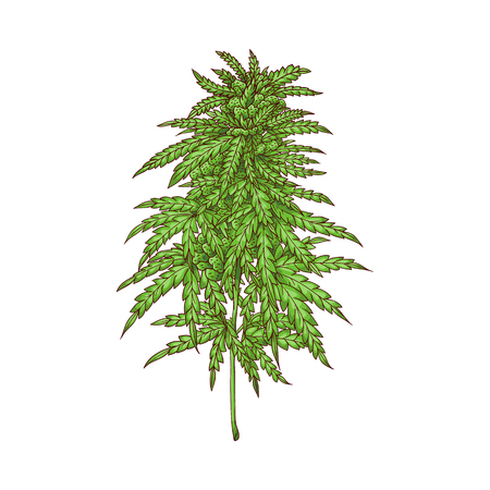 Illustration for Vector cannabis plant sketch icon. Green hemp plant with leaves, ligalized smoking drug symbol, marijuana herb, can be used in medical design. Isolated illustration - Royalty Free Image
