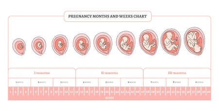 Ilustración de Pregnancy month, weeks and trimesters chart with stages of embryo development - infographic of process of human fetal growth in vector illustration isolated on white background. - Imagen libre de derechos