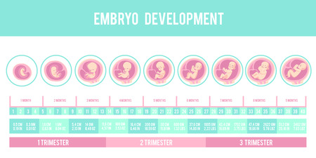 Ilustración de Infographic with stages of pregnancy and embryo, fetus development. Months, trimesters of pregnancy, embryo and fetus growth and weight . Vector illustration, flat infographic. - Imagen libre de derechos
