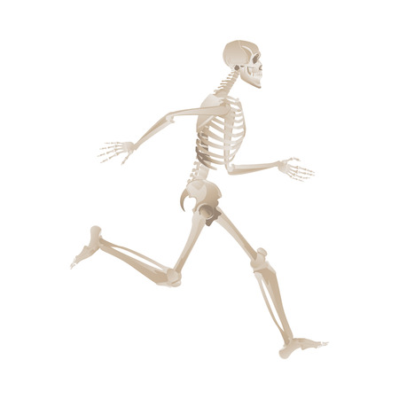 Ilustración de Human skeleton running fast and forward. Medical anatomy model with bent knee and lifted leg, bones position reference -vector illustration isolated on white background - Imagen libre de derechos