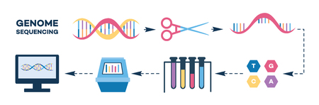Ilustración de Infographics of genome sequencing stages flat style, vector illustration isolated on white background. Steps of DNA chain termination method or nucleotide sequence test - Imagen libre de derechos