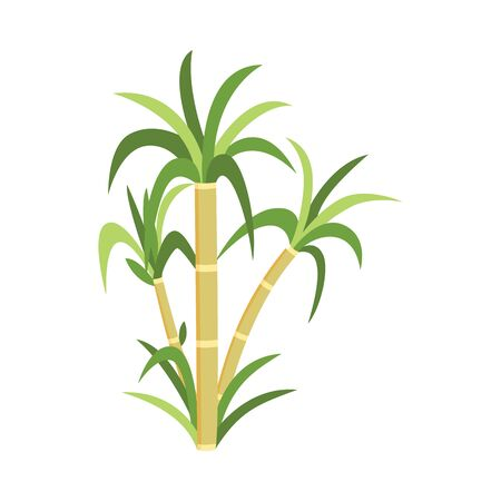 Illustration for Sugar cane plant with green leaves - natural sugarcane plantation produce, natural agriculture food resource drawing isolated on white - Royalty Free Image