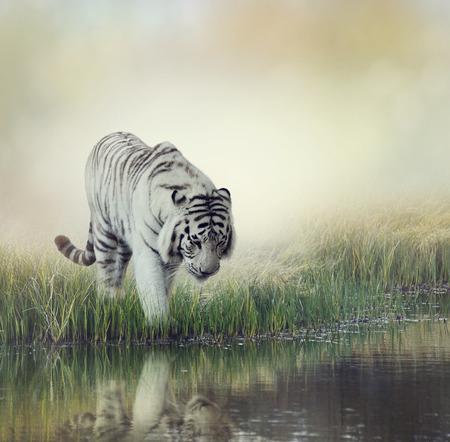 Foto de White Tiger Near A Pond - Imagen libre de derechos
