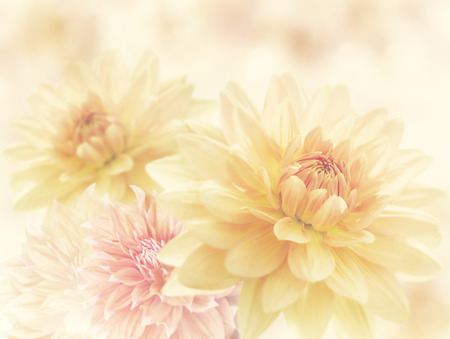 Foto de Dahlia Flowers Close Up for Background - Imagen libre de derechos