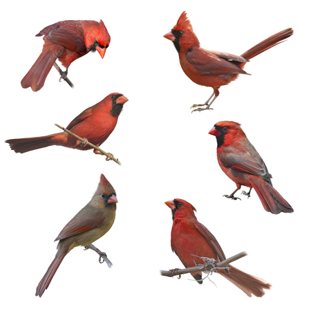 Photo pour  Male and Female Northern Cardinals isolated on white background - image libre de droit