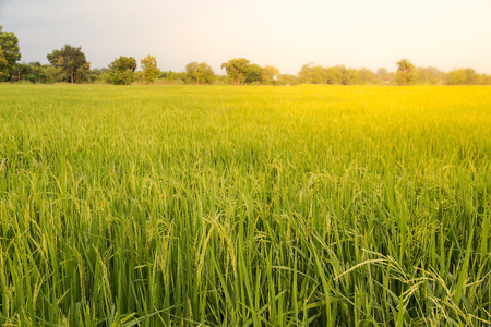 Foto de Close up of green paddy rice,Blur Paddy rice field in the morning background - Imagen libre de derechos