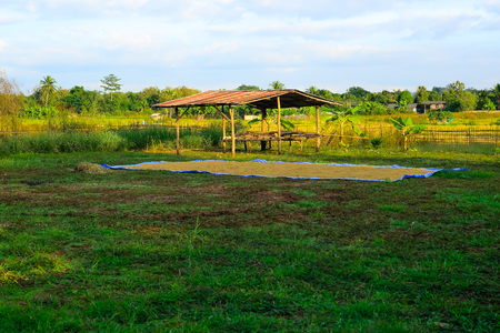 Foto de After harvesting the paddy, these paddy will be put to the sun for drying. - Imagen libre de derechos