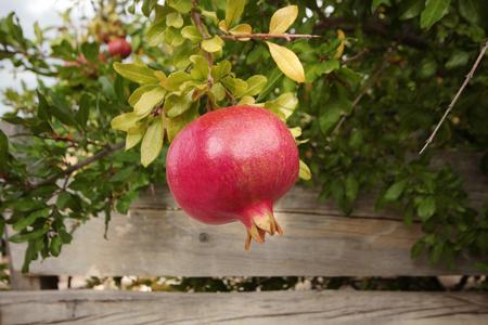 Photo pour Ripe pomegranates on tree - image libre de droit
