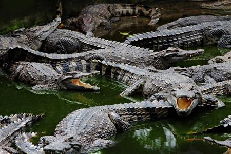 Crocodiles close-up in thailand zoo
