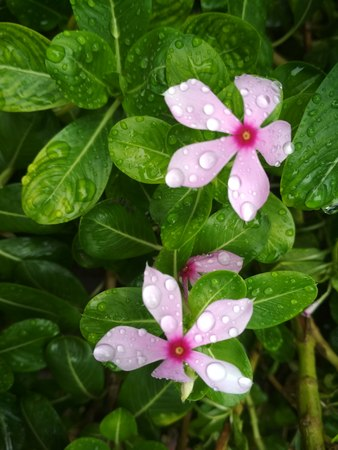 Beautiful Flower with green leaf and rain water drops