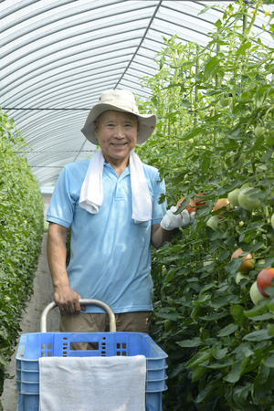 Photo for A smiling senior who harvests tomatoes - Royalty Free Image