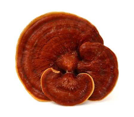 Photo pour Ganoderma Lucidum - Ling Zhi Mushroom. - image libre de droit