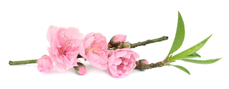 Photo pour Branch with pink blossoms isolated on white - image libre de droit