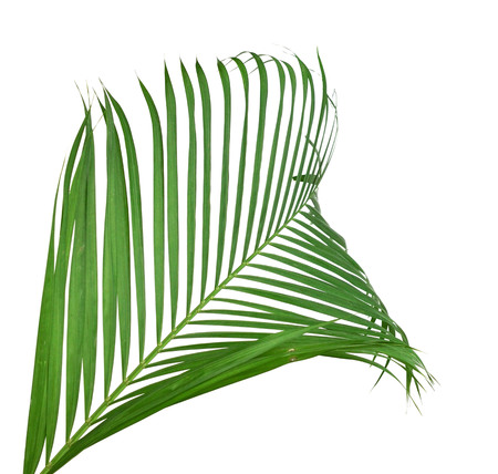 Photo for Green palm tree on white background - Royalty Free Image