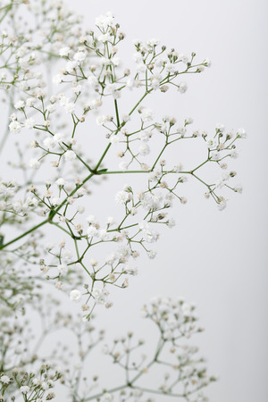 Foto für Close up of little white Gypsophila(Baby's-breath) flowers on blur background - Lizenzfreies Bild