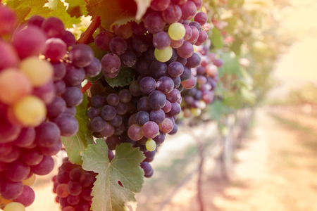 Photo for Grapes in vineyard - Royalty Free Image
