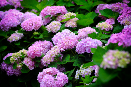 Photo for Hydrangea flowers at Liming Trail Garden of Taishan District, New Taipei, Taiwan. - Royalty Free Image