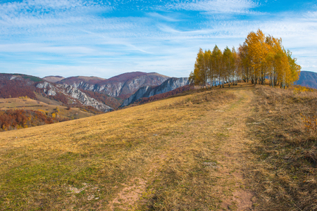 Photo for Group of yellow birch trees in the autumn. Transylvania, Romania - Royalty Free Image