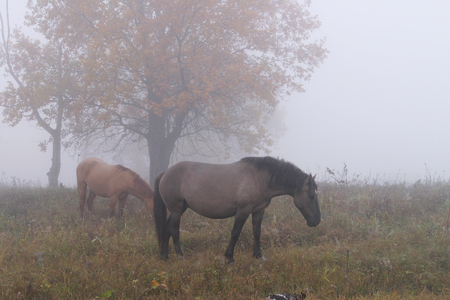 herd of horses in a thick fog in the autumn in the woods
