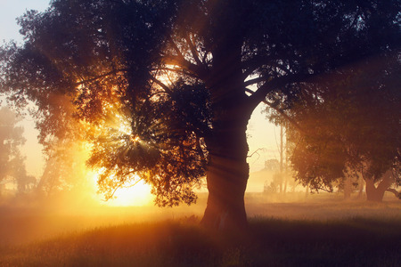 Photo pour picturesque summer landscape misty dawn in an oak grove on the banks of the river - image libre de droit