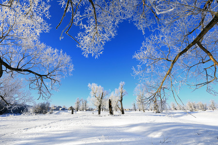Foto de winter landscape frost oaks in sunny frosty morning - Imagen libre de derechos