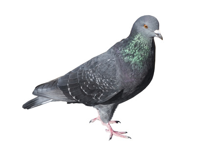 Photo for one grey pigeon isolated on white background - Royalty Free Image
