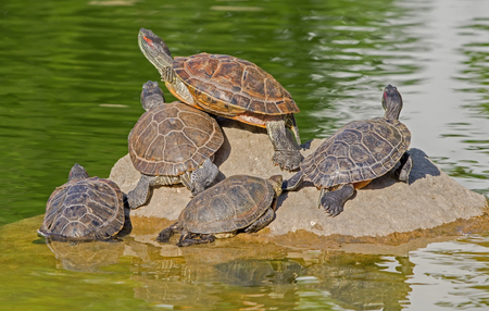 Photo for Turtle family is calming on the stone in small pond - Royalty Free Image
