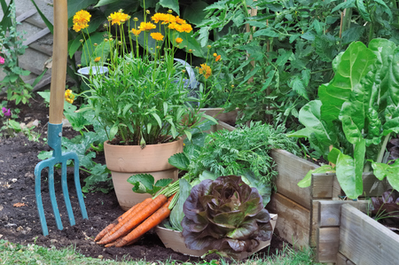 Foto de gardening tool in a vegetable garden  with carrots and salad on the ground - Imagen libre de derechos