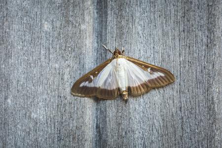 Foto für Box tree moth, Cydalima perspectalis, an invasive species in Europe and has been ranked the top garden pest in Great Britain - Lizenzfreies Bild