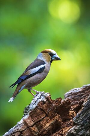 Foto de Closeup of a male hawfinch Coccothraustes coccothraustes bird perched in a forest. Selective focus and natural sunlight - Imagen libre de derechos