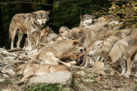 Photo for A pack of wolves on a rock - Royalty Free Image