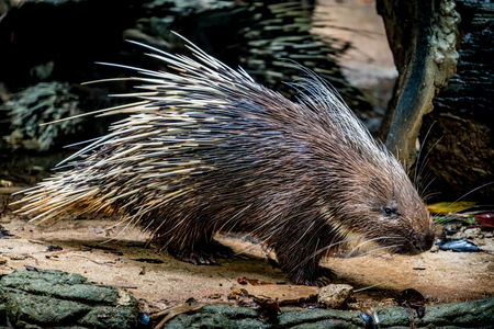 Photo for Image of Malayan porcupine - Royalty Free Image