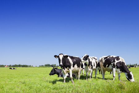Foto de Black and white cows in a grassy field on a bright and sunny day in The Netherlands. - Imagen libre de derechos