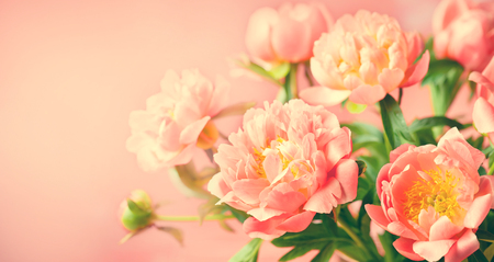 Foto de Fresh  peony flowers close up on coral background banner. - Imagen libre de derechos
