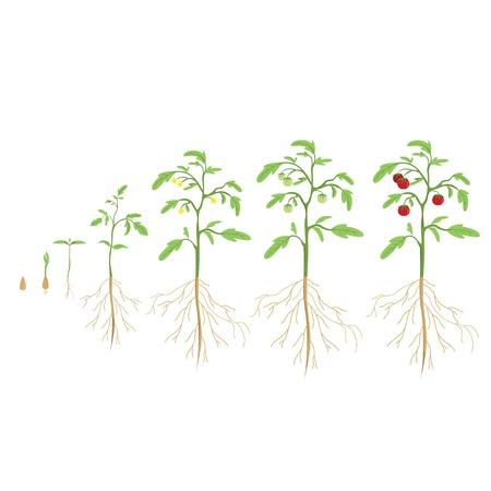 Ilustración de Tomato plant cycle. Growth progress. - Imagen libre de derechos