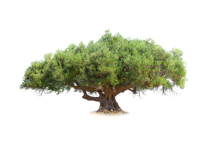Photo for Olive tree isolated on white - Royalty Free Image